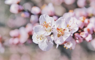 桜…upsplashより